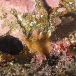 succhiascoglio minimo 12 150x150 Apletodon incognitus   Succhiascoglio minimo