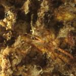 caprella sp 14 150x150 Caprella sp.2