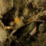 inachus sp 2 01 150x150 Granchio inachus sp.2