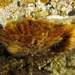 Ostrica adriatica