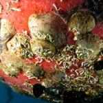 podedesmus patelliformis 03 150x150 Bivalve podedesmus