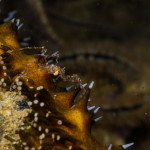ragno di mare picnogonide 02 150x150 Anoplodactylus sp.   Picnogonide