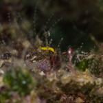 Platelminta vorticero giallo