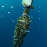 carangide 18 150x150 Carangide mediterraneo