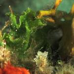 alga stella 02 150x150 Alga stella