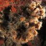 Phyllangia amaricana mouchezii - Madrepora di mouchez