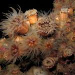 madrepora di mouchez 10 150x150 Phyllangia amaricana mouchezii   Madrepora di mouchez