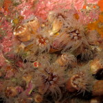 madrepora di mouchez 11 150x150 Phyllangia amaricana mouchezii   Madrepora di mouchez