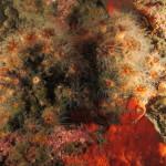madrepora di mouchez 19 150x150 Phyllangia amaricana mouchezii   Madrepora di mouchez