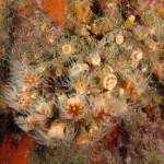 madrepora di mouchez 42 150x150 Phyllangia amaricana mouchezii   Madrepora di mouchez