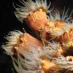madrepora di mouchez 52 150x150 Phyllangia amaricana mouchezii   Madrepora di mouchez