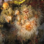 madrepora di mouchez 60 150x150 Phyllangia amaricana mouchezii   Madrepora di mouchez