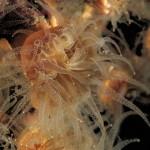 madreppora di mouchez 32 150x150 Phyllangia amaricana mouchezii   Madrepora di mouchez