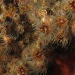 madreppora di mouchez 34 150x150 Phyllangia amaricana mouchezii   Madrepora di mouchez