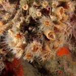 madreppora di mouchez 41 150x150 Phyllangia amaricana mouchezii   Madrepora di mouchez