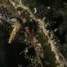 Aglaofenia arpago