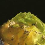 calliopea 15 150x150 Calliopea