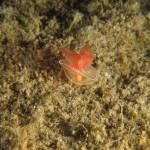 gastropteron rosso 03 150x150 Gastropteron rosso