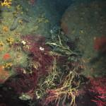 gorgonie lesionate 10 150x150 Paramuricee lesionate