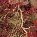 gorgonie lesionate 15 150x150 Paramuricee lesionate