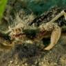 Granchio ragno comunissimus