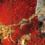 granchio ragno comunissimus 05 150x150 Granchio ragno comunissimus