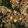 Polycyathus muellerae - Madrepora di mueller