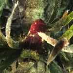 magnosella pigmeo 02 150x150 Magnosella pigmeo