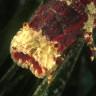 Magnosella pigmeo