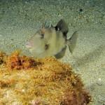pesce balestra 700 150x150 Pesce balestra