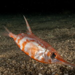 pesce trombetta 05 150x150 Macroramphosus scolopax, Pesce trombetta