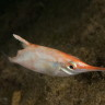 Macroramphosus scolopax, Pesce trombetta