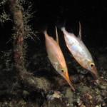 pesce trombetta 20 150x150 Macroramphosus scolopax, Pesce trombetta