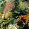 Fusinus pulchellus - Fuso