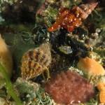 fuso 03 150x150 Fusinus pulchellus   Fuso
