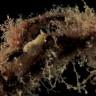 Pulce di mare sp-2