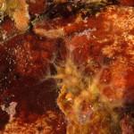 stolonifero rosa 26 150x150 Sarcodictyon catenatum   stolonifero rosa