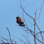 gheppio 02 150x150 Gheppio, Falco tinnunculus