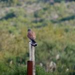 gheppio 03 150x150 Gheppio, Falco tinnunculus