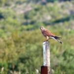 gheppio 04 150x150 Gheppio, Falco tinnunculus