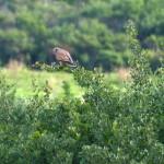 gheppio 06 150x150 Falco tinnunculus, Gheppio