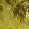 Pseudochlorodesmis furcellata - alga forcellata