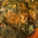 Geitodoris pusae - doride di pusa