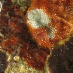 onchidoris napoletana 03 150x150 Onchidoris neapolitana   onchidoris napoletano