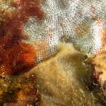onchidoris napoletana 07 150x150 Onchidoris neapolitana   onchidoris napoletano