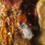 onchidoris napoletana 25 150x150 Onchidoris neapolitana   onchidoris napoletano