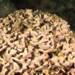 Litophyllum incrustans, Litofillo incrostante