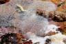 Diplosoma spongiforme - Ascidia spongiforme
