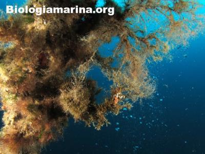 Cistoseira lichene