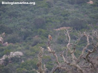 Gheppio, Falco tinnunculus